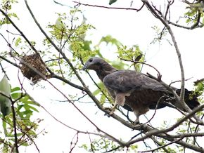 Oriental Honey-Buzzard in Action