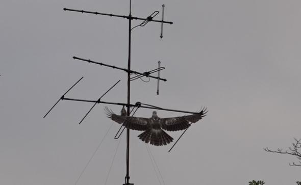HoneyBuzzardO-TV antenna