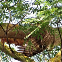 Oriental Honey-buzzard feeding on a honeycomb