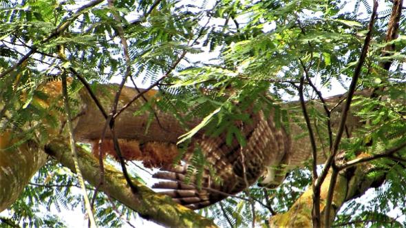 Oriental Honey-buzzard feeding on a honeycomb