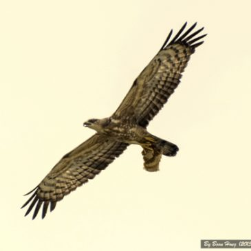 Oriental Honey-buzzard taking off with a piece of honeycomb
