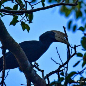 Black Hornbill @ Sepilok, Sandakan, Sabah