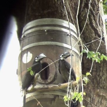 Bushy-crested Hornbill and co-operative breeding