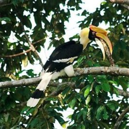 Great Hornbill's strange behaviour
