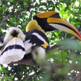 GREAT HORNBILLS – PREENING and CALLING