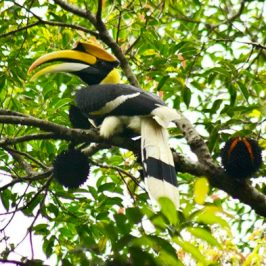 Great Hornbill feeding on Black Durian fruit