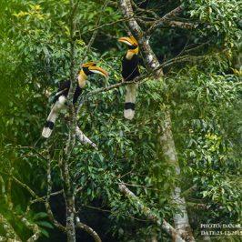 Great Hornbills of Batang Kali-Genting Highlands, Malaysia