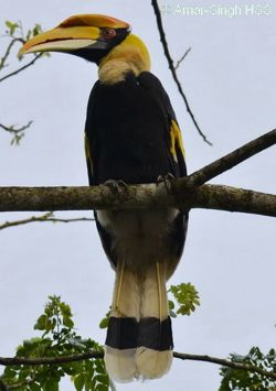 Features of an adult male Great Hornbill