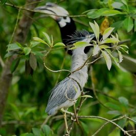 Oriental Pied Hornbill raided Little Heron's nest