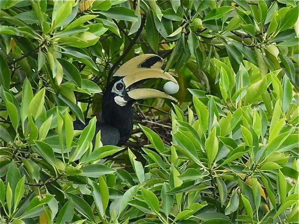 Red-whiskered Bulbul: 4. Did a hornbill raid the nest?