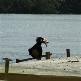 An Extraordinary Oriental Pied Hornbill at Pulau Ubin