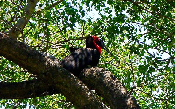 Southern Ground-hornbill of South Africa
