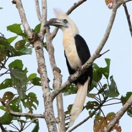 White-crowned Hornbills at Kinabatangan River, Borneo