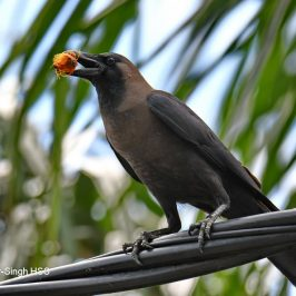 House Crow feeding on Oil Palm fruit
