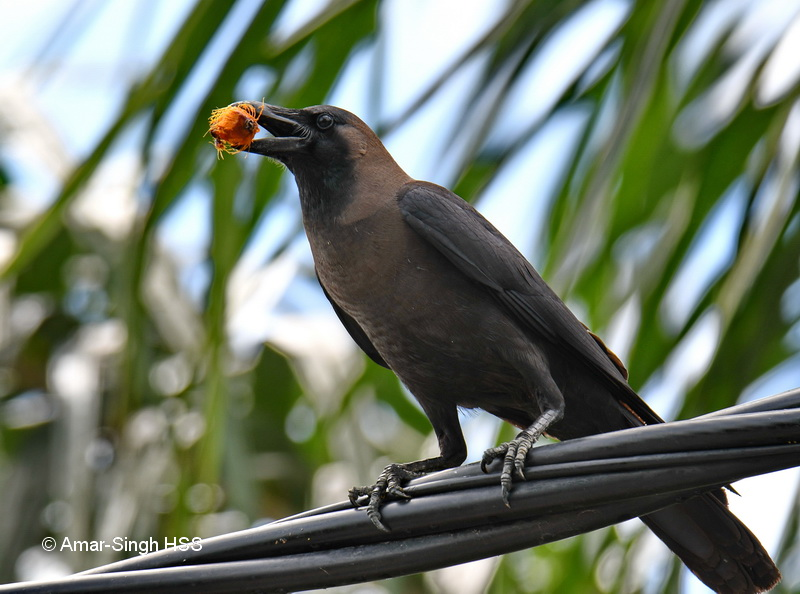 House Crow-1a-Manjung, Perak, Malaysia-15th August 2018