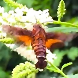 Hummingbird Hawk Moth, Hummingbird and Sunbird