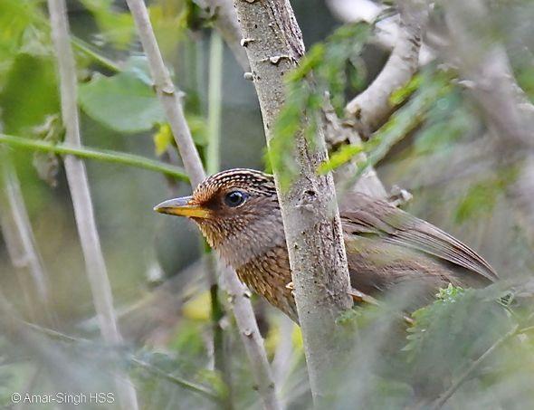 Birding in Taiwan: 9. Taiwan Hwamei
