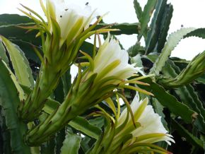 Birds do eat the dragon fruit <em>Hylocereus undatus</em>