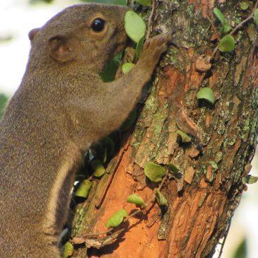Plantain squirrel (Callosciurus notatus) burying a nut in the ground