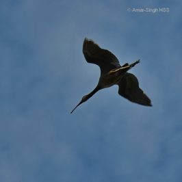Glossy Ibis: A vagrant in Malaysia