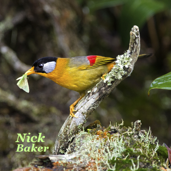 Silver-eared Mesia (Photo credit: Nick Baker)