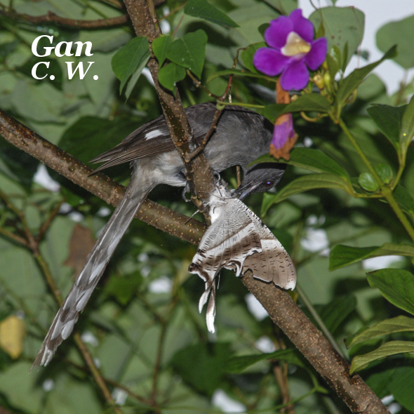 Long-tailed Sibia (Photo credit: CW Gan)