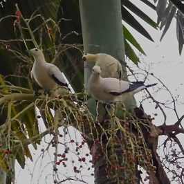Pied Imperial-pigeon swallowing Alexandra Palm fruits