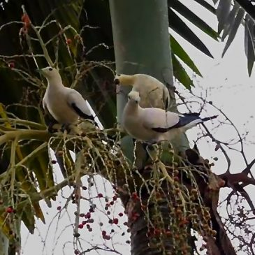 Pied Imperial-pigeon feeding on fruits of Ceram and Alexandra Palms