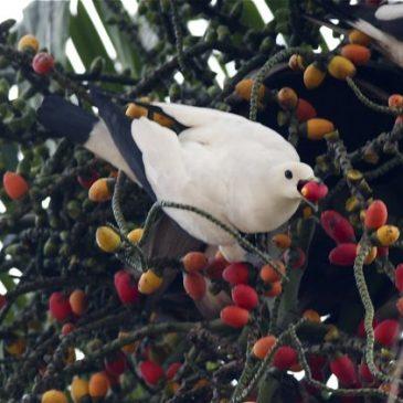 Pied Imperial-pigeon feeding on Rhopaloblaste ceramica fruits