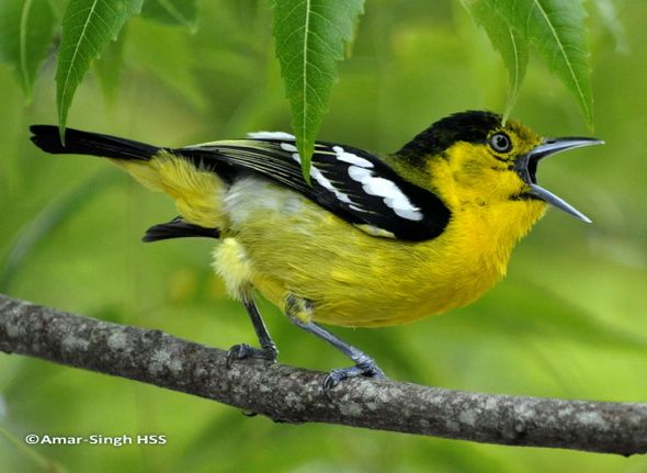 Checklist of Bird Calls and Songs for Singapore and Malaysia