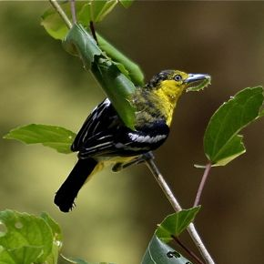 Common Iora – breeding adult male foraging