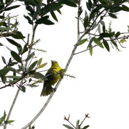 Common Iora's courtship behaviour