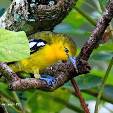 Common Iora – early breeding plumage