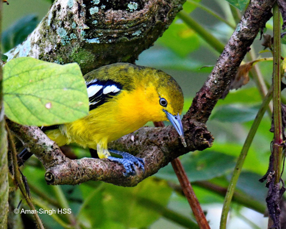 Common Iora with insect.