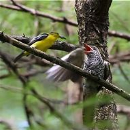 Video of Common Iora feeding Banded-bay Cuckoo fledgling