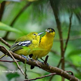 Common Iora – food for juvenile