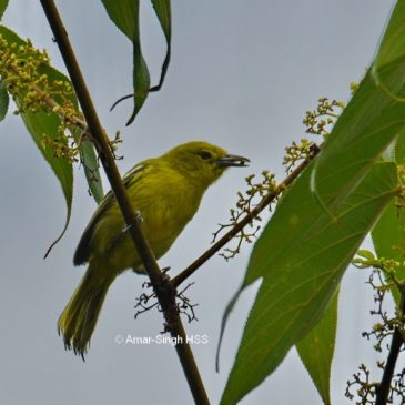 Frugivory by the Common Iora