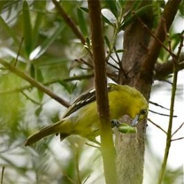 Common Iora feeding on a katydid
