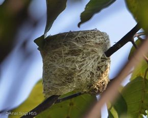 Common Iora nesting