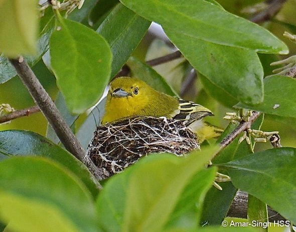 Nesting of the Common Iora: 2. Incubation