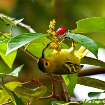 Participant in a mixed foraging party… Green Iora