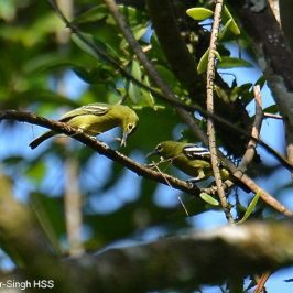 Green Iora – nest building