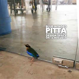 Blue-winged Pitta ended up in Commonwealth Secondary School
