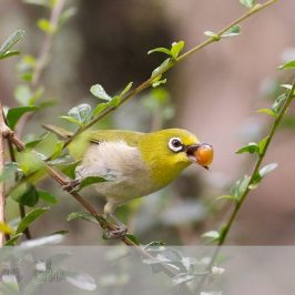 Japanese White-eye eats <em>Carmona retusa</em> fruit