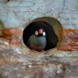 Java Sparrow nesting