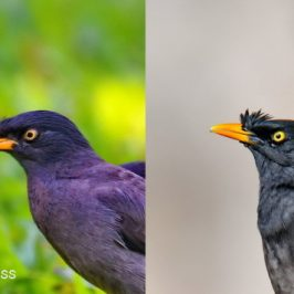 Javan vs Jungle Myna