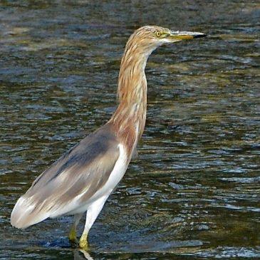 Head Plumes of the Javan Pond-heron
