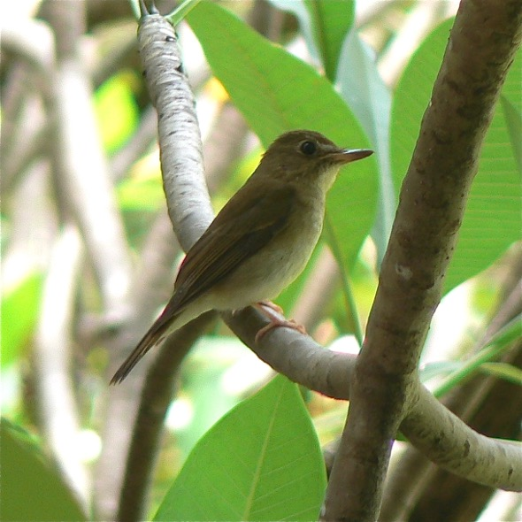 Brown-chested Jungle-flycatcher (Photo Credit: S Subaraj)