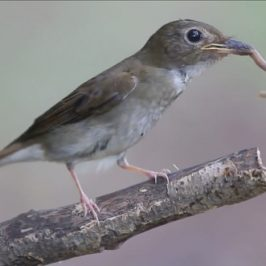 Brown-chested Jungle-flycatcher handling an earthworm