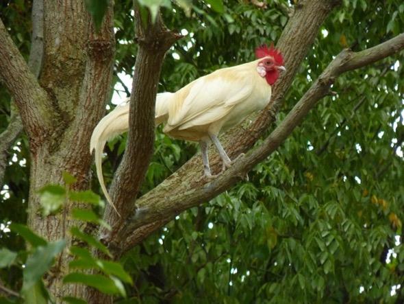 JungleFowR-white hybrid [ThongChowNgian] 1